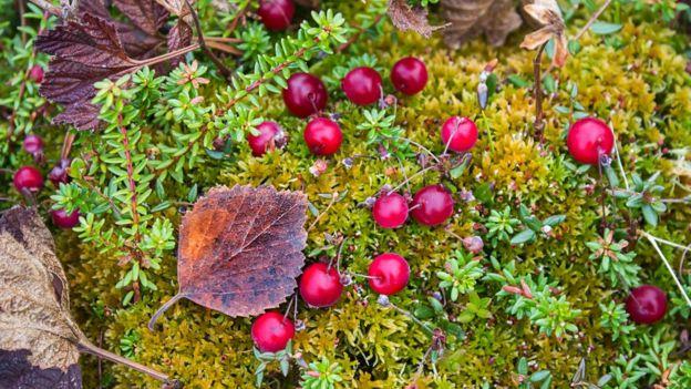 En los bosques finlandeses, arándanos silvestres. (THINKSTOCK)