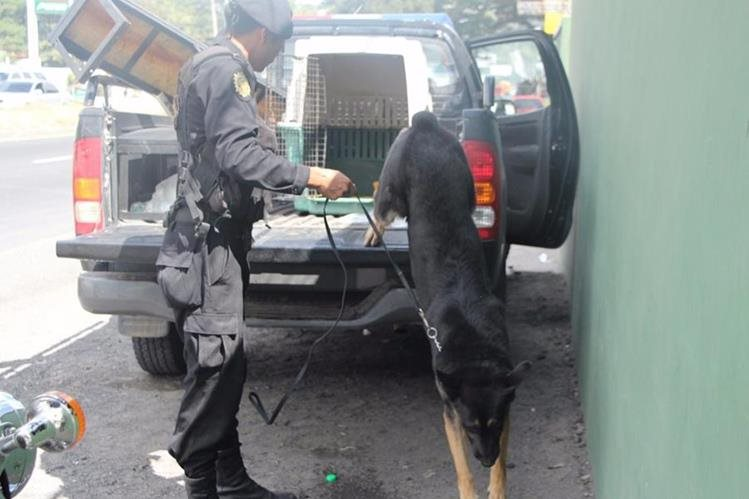 Rambo, el perro policía de la unidad antinarcótica K-9, ha detectado con su olfato 380 kilos de cocaína (Foto Prensa Libre: PNC).