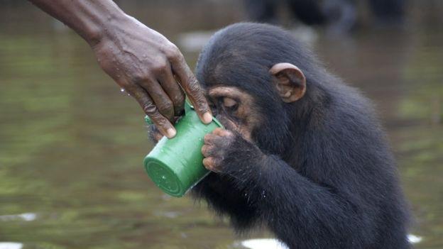 Ahora estos chimpancés son cuidados por ex empleados de NYBC. JENNY DESMOND
