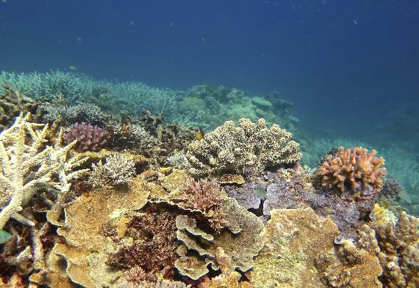 El 67 % de los corales de la Gran Barrera de Australia, ha muerto en los últimos ocho o nueve meses.(EFE)