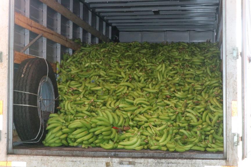 Lote de bananos donados por gobernadora en Suchitepéquez. (Foto Prensa Libre: Cortesía)