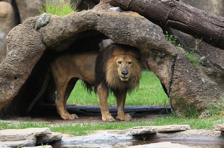 El leon del zoológico La Aurora está anciano y próximo a morir. (Foto Prensa Libre: Esbin García)