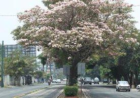 El Matilisguate y la Jacaranda adornan las calles de la ciudad.