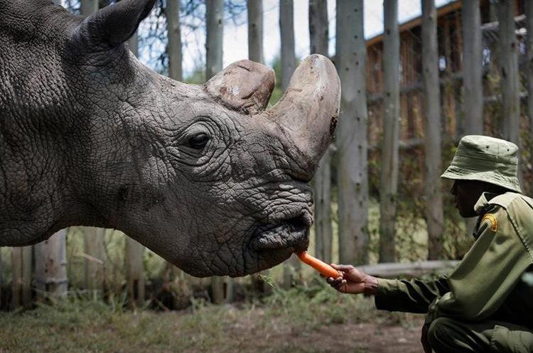 El rinoceronte Sudán fue sacrificado ayer, 19 de marzo de 2018, tras agravarse significativamente la enfermedad que sufría desde hace varias semanas. (Foto Prensa Libre: EFE)