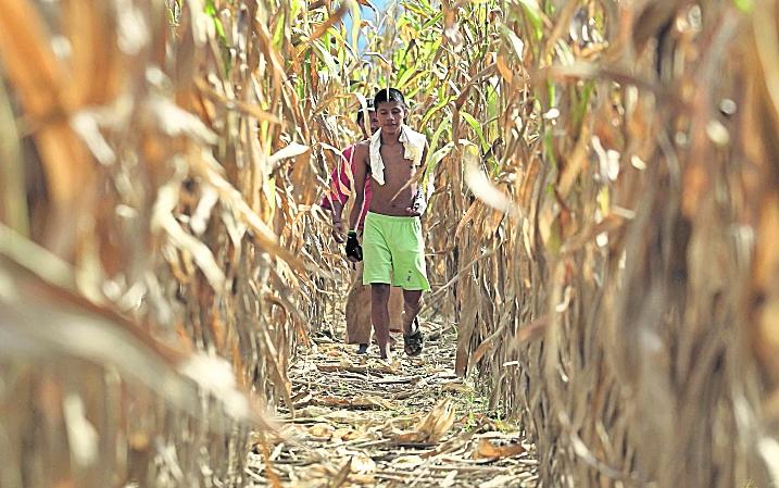 Las plantaciones de maíz son las más afectadas por la sequía, producto del cambio climático. (Foto Hemeroteca PL)