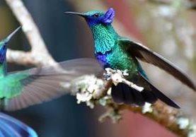 Los colibríes son una especie protegida en el estado de California. Foto: FAIRWAY