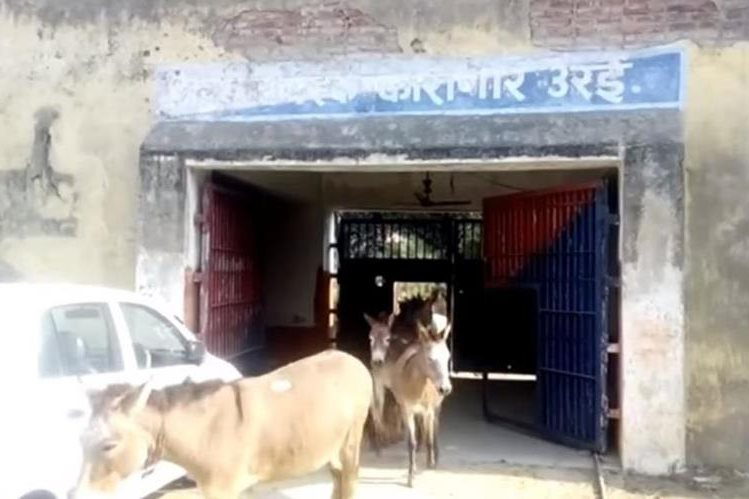Los ocho burros fueron liberados este martes. (Foto Prensa Libre: Live Hindustan / YouTube)