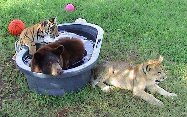 Shere Khan (tigre),Baloo (oso) y  Leo (león), toman un baño en el refugio. (Foto Prensa Libre: Noah