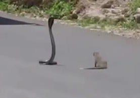 """<p>Una mangosta enfrentó a una cobra en medio de la carretera. (Foto Prensa Libre: YouTube)<br _mce_bogus=""""1""""></p>"""