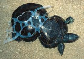 <em>Cacahuate, la tortuga cuyo cuerpo fue deformado por un envoltorio plástico. (Foto Prensa Libre: inhabitat.com).</em>