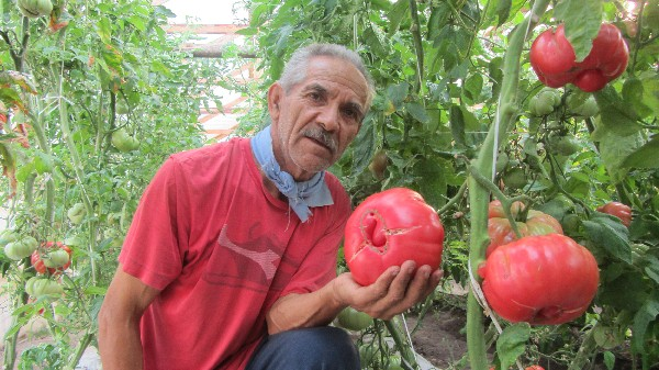 José Flores muestra varios tomates rosados.