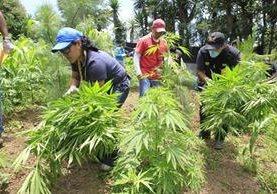 Fiscales del Ministerio Público en una incautación de marihuana. (Foto Prensa Libre: Hemeroteca PL)