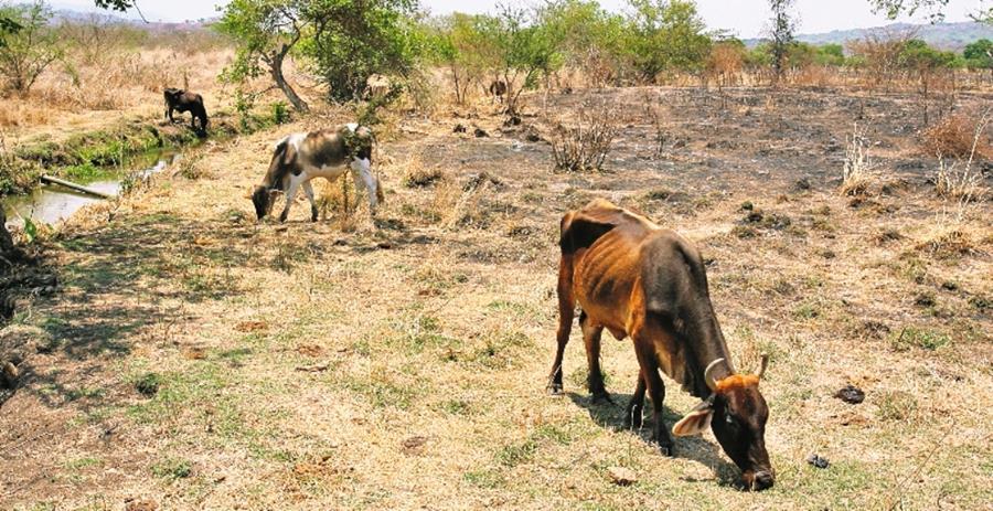 El ganado ha sido afectado por la sequía en Centroamérica.