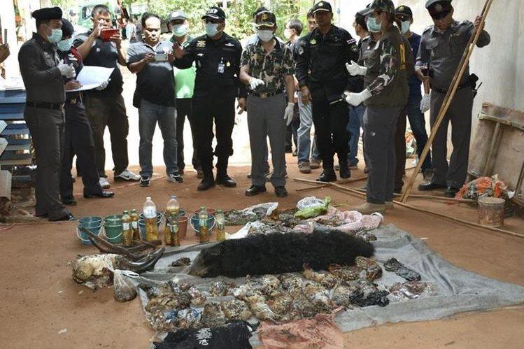 Responsable de Fauna y policías revisan los cadáveres de varias crías de tigre durante el registro al Templo del Tigre en la provincia de Kanchanaburi, Tailandia. (Foto Prensa Libre: EFE).