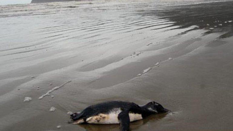 Otro pingüino muerto en las costas uruguayas, aunque el aparecimiento de estas fallecidas es normal en esta época del año, autoridades creen que pudiero haber muerto después de salir del agua. (Foto Prensa Libre: Internet).