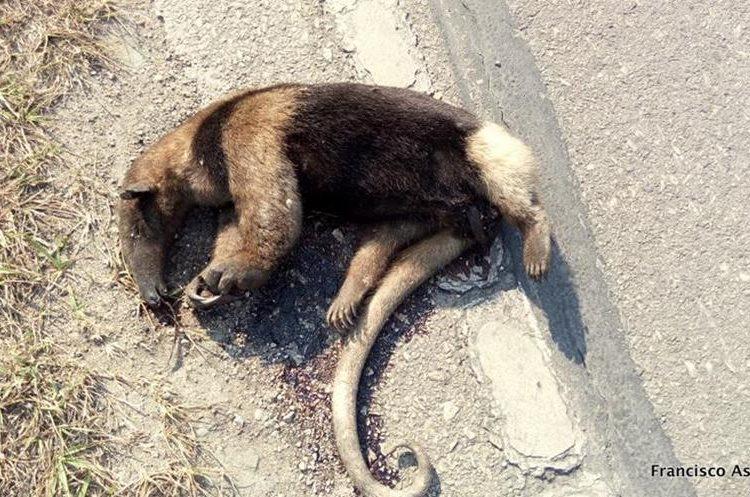Un oso hormiguero atropellado, especie en peligro de extinción. (Foto Prensa Libre: Rigoberto Escobar)