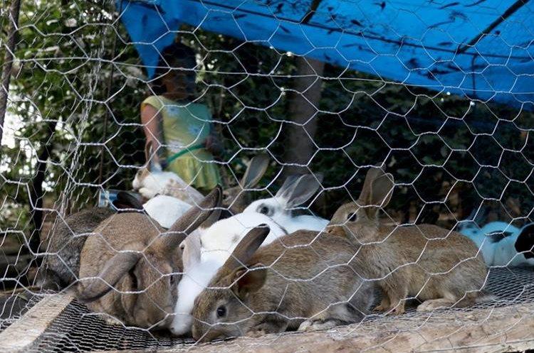 Una hija de los esposos Castillo Gómez pone agua en recipientes en una jaula de conejos, en La Arboleda, Huehuetenango. (Foto Prensa Libre: Mike Castillo)