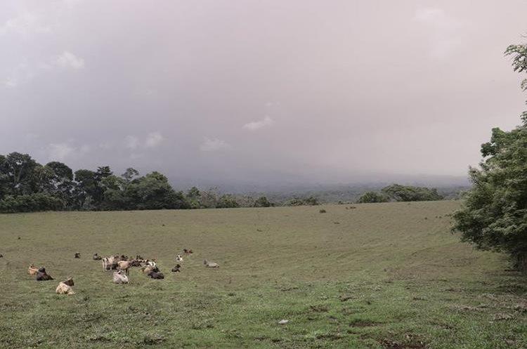 Áreas de pastoreo son afectadas por la ceniza volcánica en regiones de San Pedro Yepocapa, Chimaltenango. (Foto Prensa Libre: Víctor Chamalé)