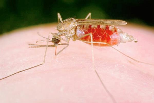 El mosquito anófeles transmite la malaria (Foto: Hemeroteca PL).