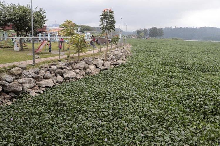 Una alfombra de plantas acuáticas se observa en la laguna. (Foto Prensa Libre: Eduardo Sam Chun)