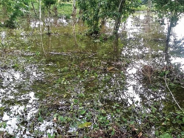 Plantación de frijol fue destruida por inundaciones causadas por la tormenta tropical Earl, en San Benito, Petén.