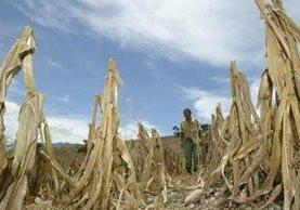 Campesinos pobres podría perder sus siembras y su seguridad alimentaria estaría en riesgo. (Foto Prensa Libre: Hemeroteca PL)