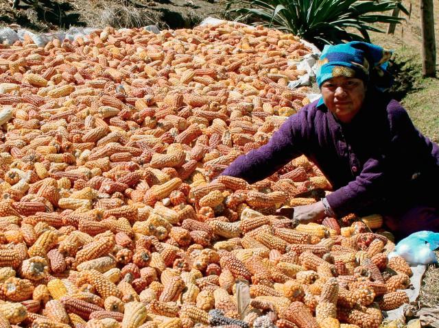 Feliz Matías,  de Tuilelén,  Comitancillo,  contempla el maíz que obtuvo su familia en la última cosecha. (Foto Prensa Libre: Aroldo Marroquín).