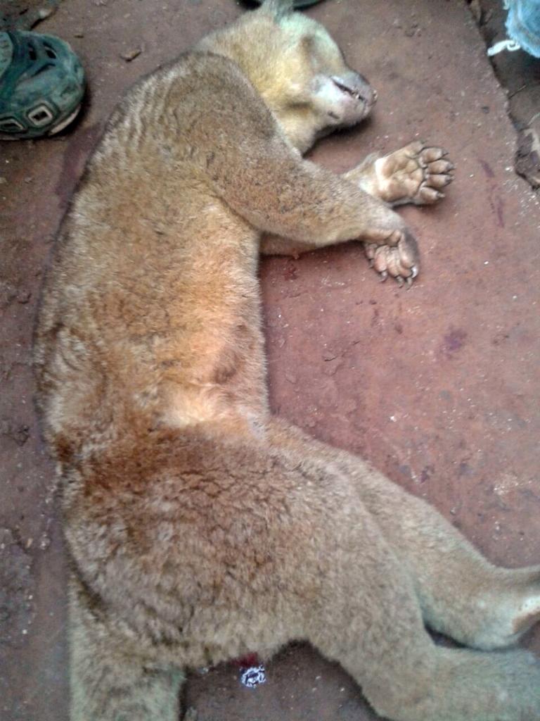 Un animal que parece ser micoleón fue muerto por vecinos de San Rafael Pacayá 2, Coatepeque, quienes creen que se trataba del cadejo. (Foto Prensa Libre: Alexánder Coyoy)