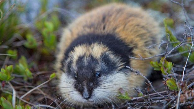 """""""Huir"""" no es una opción para los lemmings.  (Foto Prensa Libre: Getty Images)"""