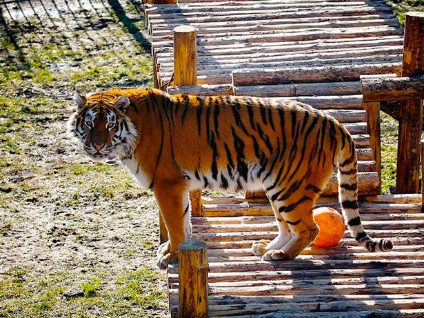 Tigre ataca a cuidadora en Zoológico y la salvan los visitantes