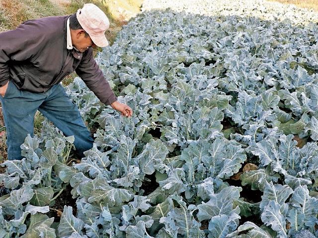 El altiplano central y occidental serán las regiones donde los frentes fríos afectarán más durante enero y febrero del próximo año, principalmente a las plantaciones, según el Insivumeh.