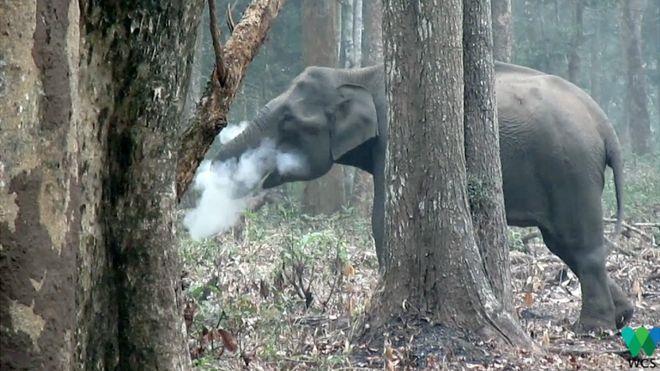 Un elefante que escupe humo desconcierta a los científicos