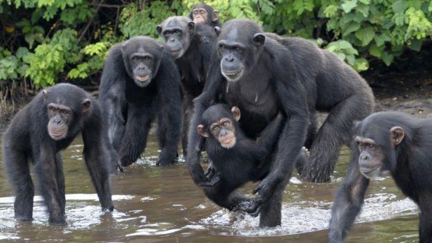 Los chimpancés vagan en seis islas. JENNY DESMOND