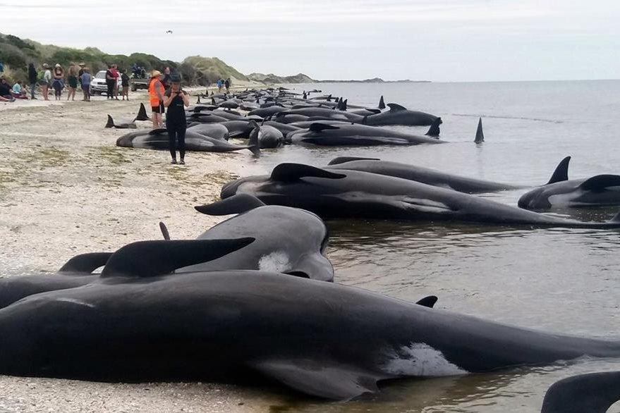 Varias ballenas quedaron varadas en una playa de Farewell Spit en Nueva Zelanda. (AP)