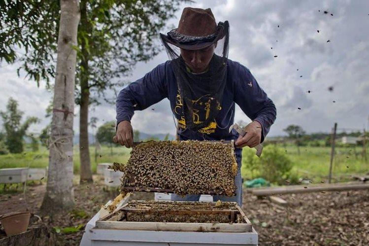 Un investigador universitario comprueba la calidad de las colmenas previo a instalarlas en el perímetro de una granja, para ahuyentar a los elefantes. (Foto Prensa Libre: AP).