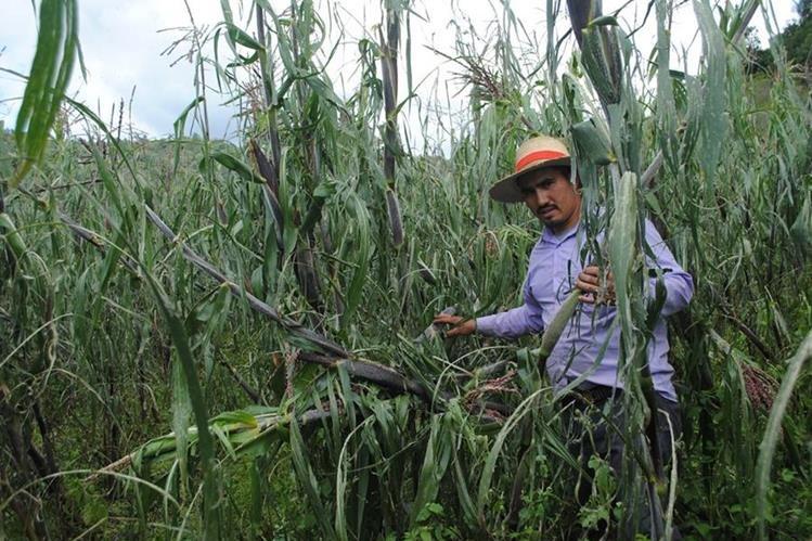Marlon Monterroso, agricultor de Sibilia, resultó perjudicado por daños en varios cultivos de maíz para la subsistencia. (Foto Prensa Libre: María José Longo)