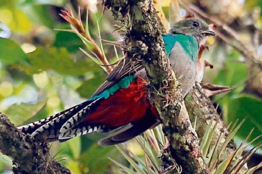 El Quetzal, ave símbolo de la República de Guatemala. Ejemplar captado en Purulha, Baja Verapaz. Guatemala. (Foto Prensa Libre: Esbin Garcia).