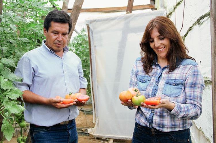 La empresa guatemalteca Hortabella  ha desarrollado una variedad de tomates  que contienen  50 por ciento  más licopeno que los  convencionales (Foto: Hemeroteca PL).