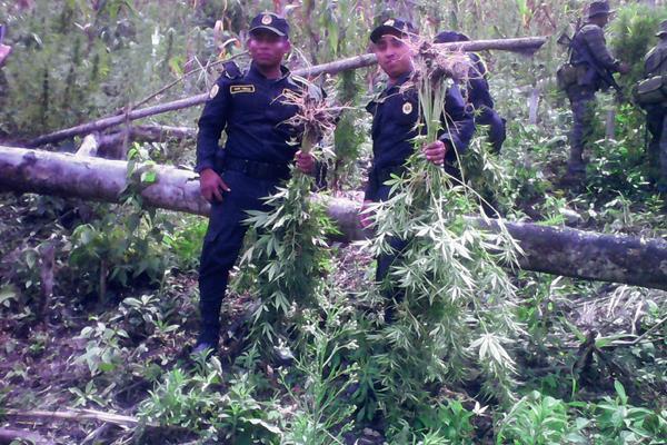 Agentes de la PNC erradican plantación de marihuana en Melchor de Mencos, Petén. (Foto Prensa Libre: Rigoberto Escobar)