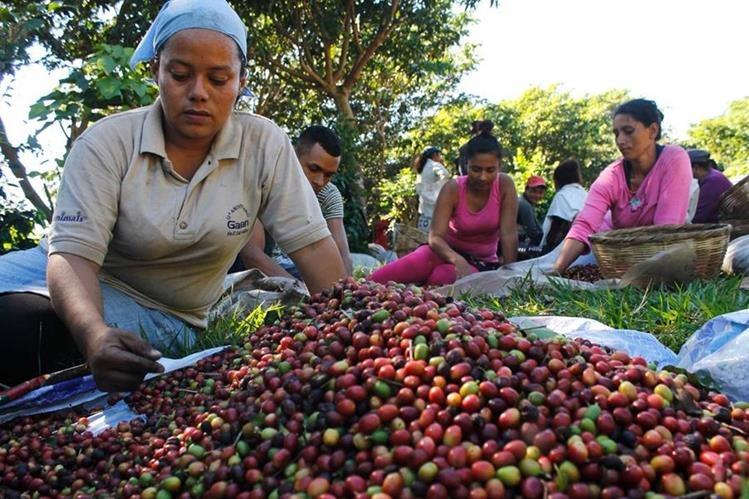 Agricultores separan granos de cafédurante tareas de recolectora en El Salvador.