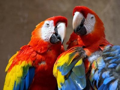 Una de  cada dos aves están en peligro en la región centroamericana. (Foto Prensa Libre: Tomada de Internet)