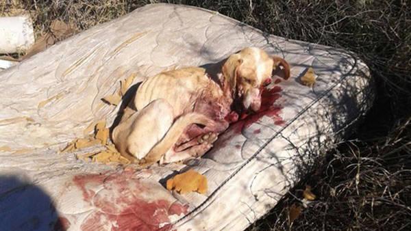 <em>La perra callejera que fue baleada por un policía fue resctada por vecinos que la llevaron a un centro asistencial. (Foto Prensa Libre: clarin.com).</em>