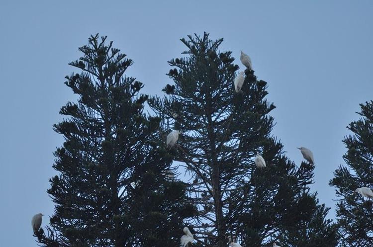 Garzas pernoctan en árboles del barrio La Morera, zona 1. (Foto: Cortesía Gerberth Reyes)