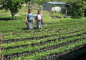 <p>Dos mujeres integrantes de la Cooperativa Integral Agrícola El Porvenir R.L. muestran almácigos de café que se distribuyen entre los asociados. (Foto Prensa Libre: Mike Castillo)</p>
