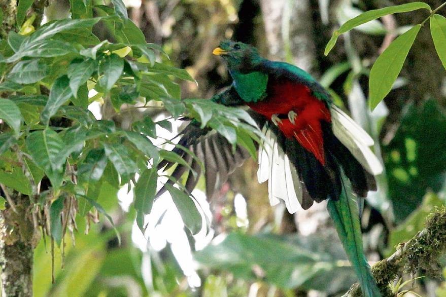 Una leyenda cita que el pecho del quetzal se tiñó de rojo con la sangre del héroe Tecún Umán. (Foto Prensa Libre: Esbin García)