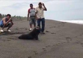 Un lobo marino fue hallado en las playas de Monterrico, Santa Rosa, y puesto en libertad este martes. (Foto Prensa Libre: Facebook Reserva Natural Monterrico)