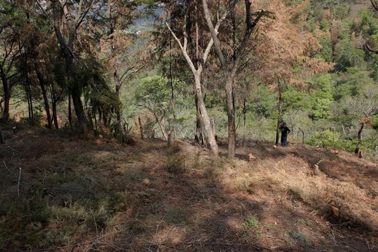 Un hombre recorre un bosque en Pastores, donde se evidencia el contraste entre los árboles afectados por la plaga de gorgojo y los que aún están sanos. (Foto Prensa Libre: Víctor Chamalé)