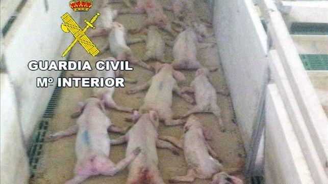 Los dos hombres saltaron sobre los cerdos hasta matarlos. (Foto Twitter/@guardiacivil).