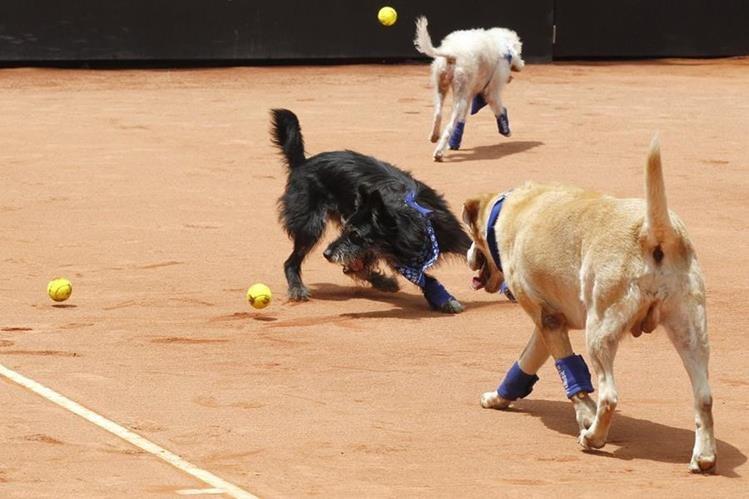 Los perros disfrutaron en la cancha mientras realizaban su labor de recoger pelotas. (Foto Prensa Libre: EFE)