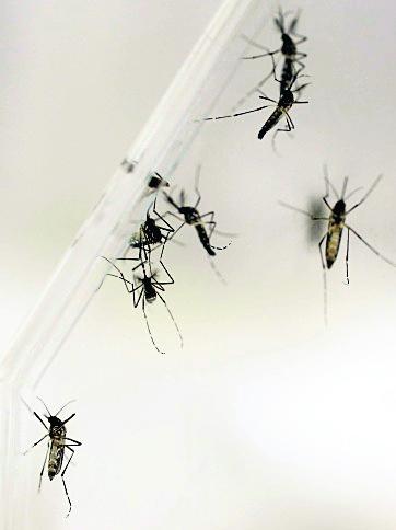 El Aedes Aegypti es el transmisor del zika. (Foto Hermeroteca PL)
